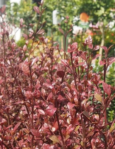 Lophomyrtus (test 5l)