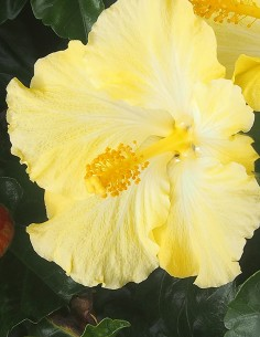 Hibiscus 3l, Cardenal
