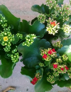 Kalanchoe pack 2 uni mix...